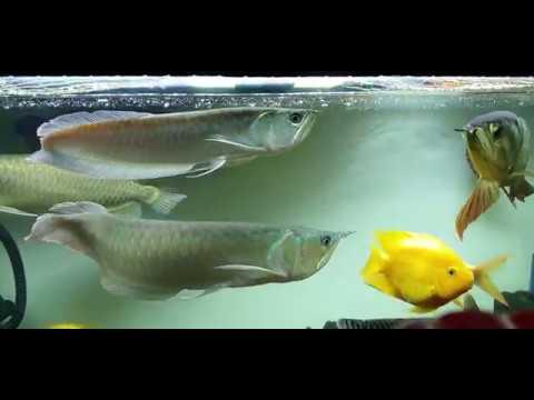 Cách nuôi cá rồng - Phần 1: Cá ngân long