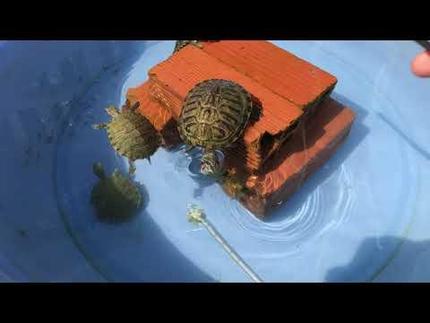 Cách nuôi rùa(rùa nước) rùa tai đỏ  how to take care of your turtle