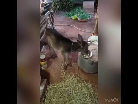 Cách nuôi Bò mồ côi Mẹ như thế nào ??  6day-45day. Shopchannuoi