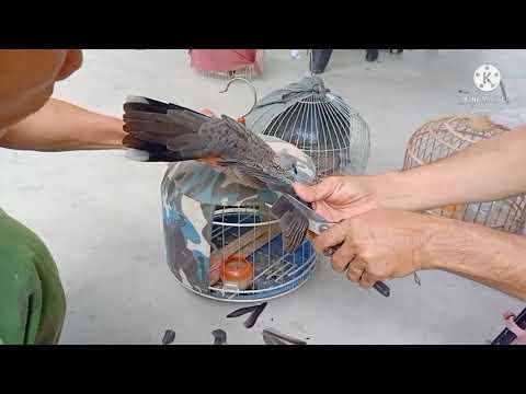 cách nuôi con bổi mau dạng, cách cắt cánh con bổi
