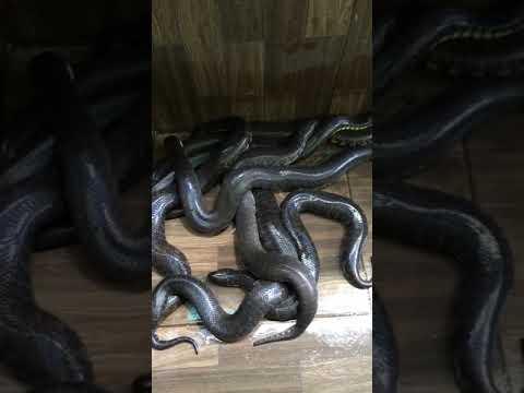 Cách nuôi rắn ri vôi mau lớn