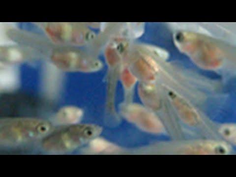 cách nuôi và dưỡng cá bảy màu con mới đẻ nhanh lớn nhất | NVN GUPPY