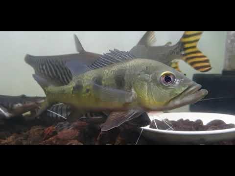 Cách nuôi cá Hoàng bảo yến| Phần 1: HBY Mono