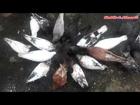 Nuôi chim bồ câu - cách nuôi chim bồ câu rất dễ dàng phát triển rất nhanh